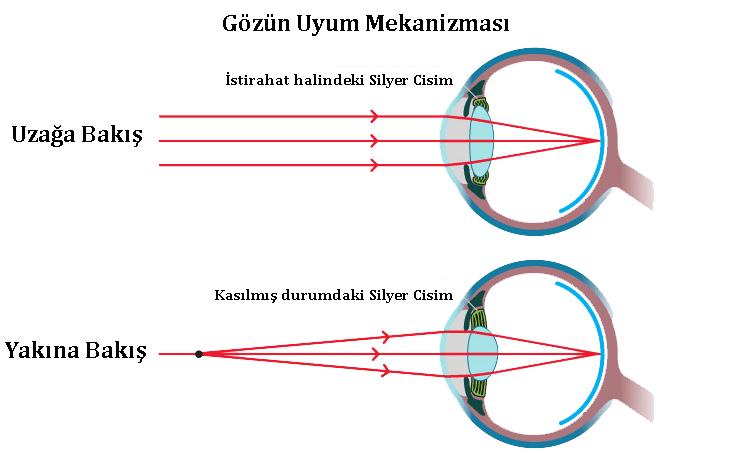 Gözün Uyum Mekanizması ve hipermetropi
